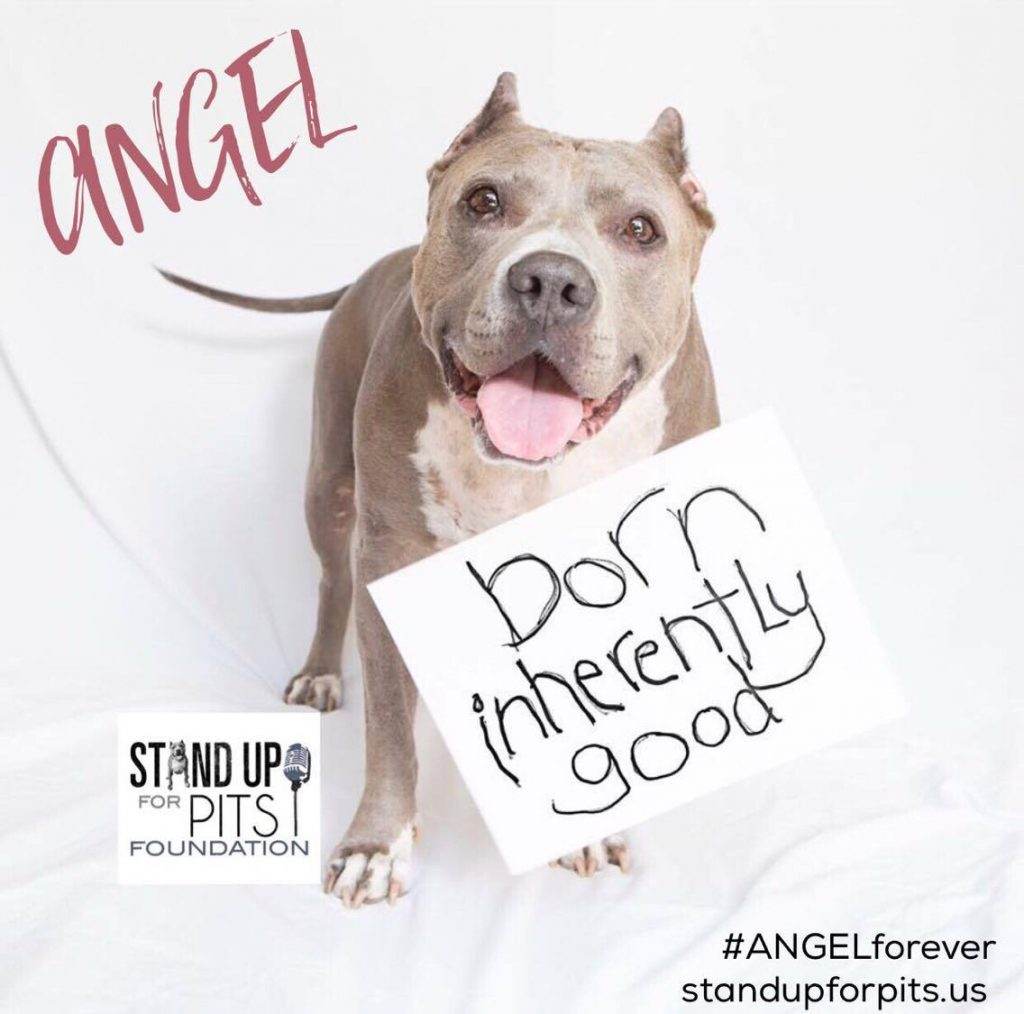 Angel Pit Bull Stand Up For Pits Born Inherently Good